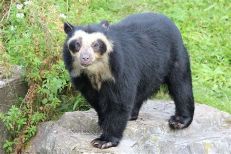 spectacled bear top 22 most powerful bite forces in carnivore land mammals