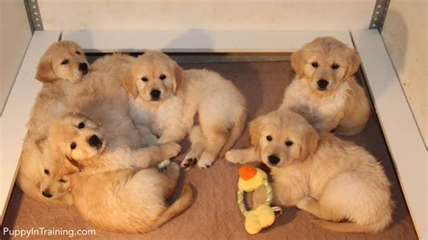 raising golden retriever puppies our litter of golden retriever pups week 7 puppy in