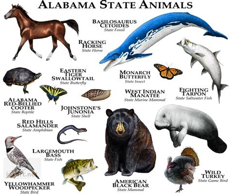 alabama state colors state animals of alabama line and color illustrations