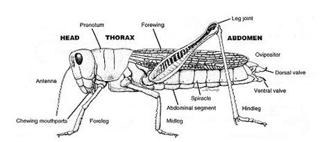 diagram of a grasshopper with label field guide to common western grasshoppers