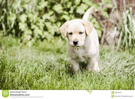 tiny golden retriever golden retriever puppy stock photo image 53819943