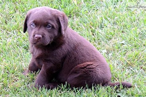 lab puppies for sale in utah labrador retriever puppy for sale near provo orem utah 5249c41a 24a1