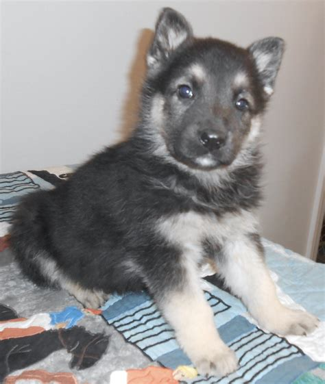 black and silver german shepherd puppies page