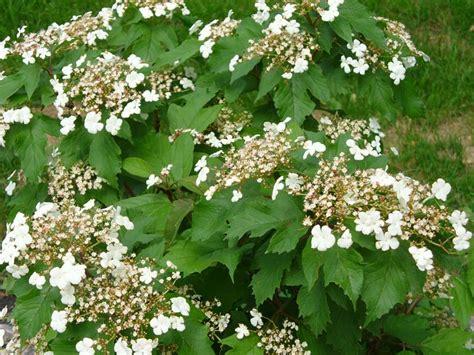 shrub white flowers ornamental shrubs morden nurseries and garden center