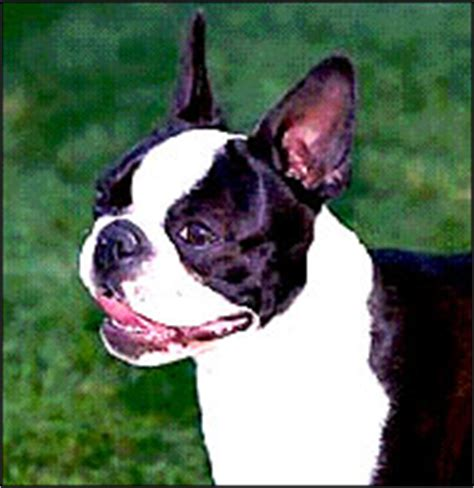 Do Boston Terrier Shed by Breed Boston Terrier Malaysia And Puppy Portal