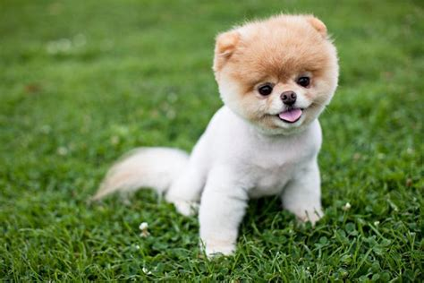 worlds cutest puppy worlds cutest est facts