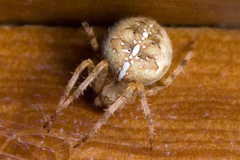 Garden Spider With White Back Brown Spider With White Cross On Back The Garden Spider Is