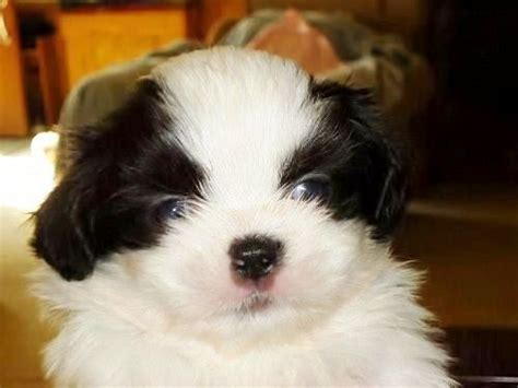 puppies for sale wilmington nc shih tzu wilmington nc assistedlivingcares