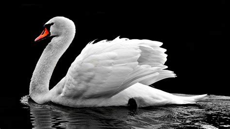 wallpaper white swan lake  animals