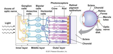 retina diagram vision retina transplant difficulties biology stack