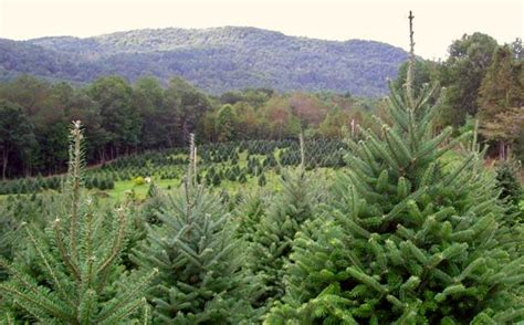 100 cut your own christmas tree nh home welcome to