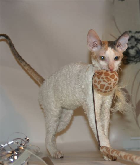 How Often To Shower A Cat by 9 Hypoallergenic Cat Breeds Best For Allergies Get