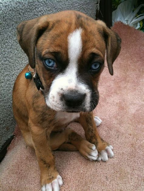 blue boxer puppies blue eyed boxer puppy sooo in animals beautiful doggies and taps