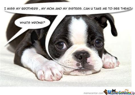 poor puppy meme center bostonterriersrock2 posts