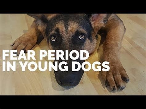 fear periods in dogs fear period in dogs