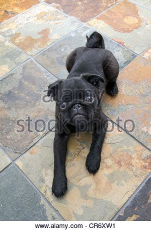 5 month pug puppy a 5 month black pug puppy standing in the grass stock photo royalty free image
