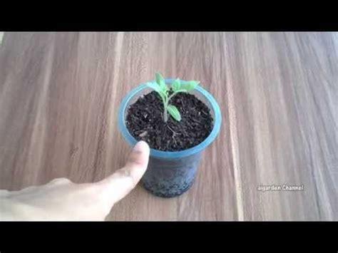 Bibit Biji Benih Sayur Bayam Hijau Tanaman Hias Bkn Bonsai Kebun 1 budidaya terung sawi cabai tomat dan bawang merah d