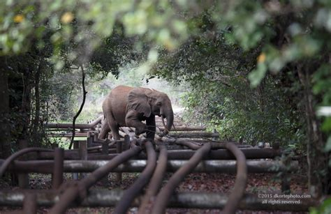 an forest elephant returns from the in gabon david korte photographs recent adventures in gabon africa 169 2014 all rights reserved page 3