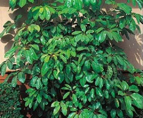 indoor plant seeds 30 cyprus umbrella plant seeds annual flower seeds