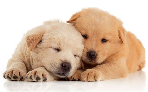 puppy facts for nsw pet shops and puppy farms the facts piaa