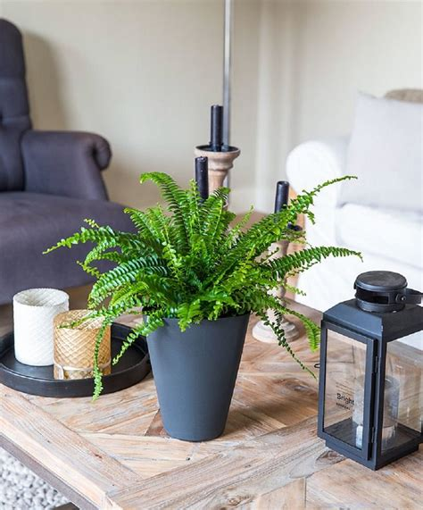boston fern indoor plant in the white pot stunning indoor plants best plants that reduce humidity indoors balcony garden web