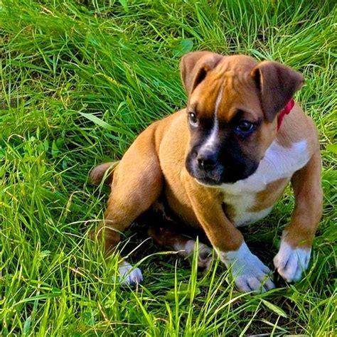 impetigo in dogs impetigo breeds picture