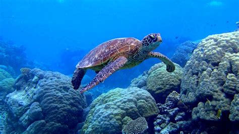 underwater sea turtle wallpaper