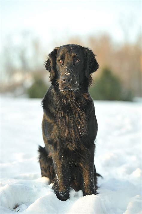 flat coated retriever training guide 17 best ideas about flat coated retriever on black golden retriever cute baby dogs
