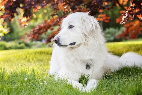 haircuts for great pryneese dogs great pyrenees dog breed profile