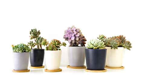 Decorative Plant Pots by Care Tips Of Succulents How Ornament