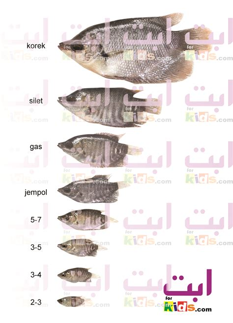 Jual Bibit Gurame Mojokerto cara perawatan benih ikan gurame benih ikan jogja