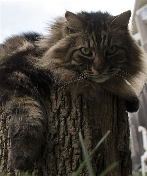 pros and cons of cats to coon or not to coon pros and cons of having a maine