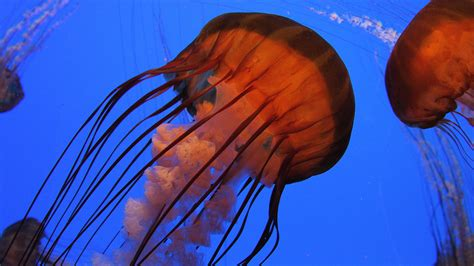 wallpaper jellyfish   wallpaper pacific sea nettle