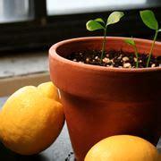 terriccio per limoni in vaso innesto agrumi periodo piante da frutto quando