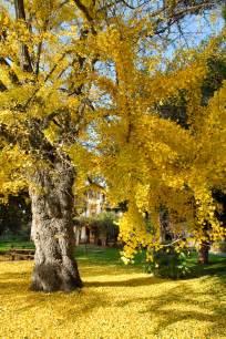 file ginkgo biloba tree in fall jpg wikimedia commons