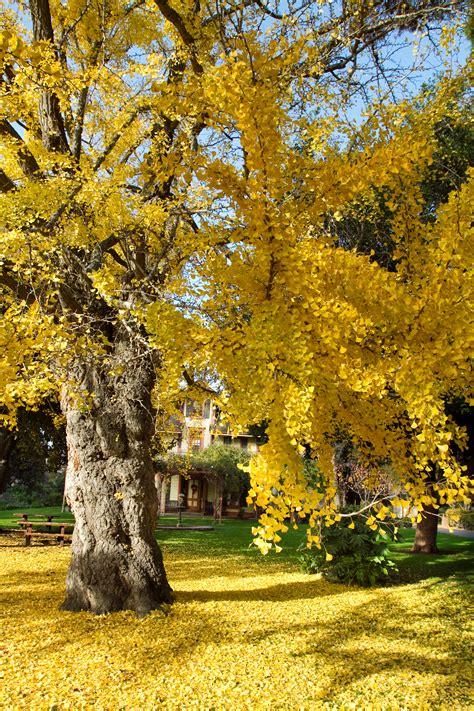 file ginkgo biloba tree in fall jpg wikipedia