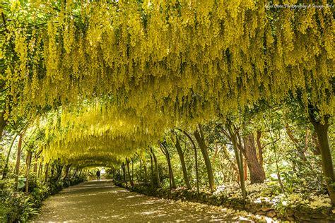 Bodnant Garden Laburnum Arch 7 Wonders Of The National Trust World Royal Oak Foundation