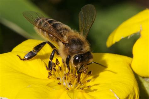 the world bee populations are dwindling and we still can
