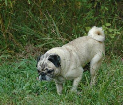 bluegrass pug rescue adoptable pugs adoptable pugs bluegrass pug rescue