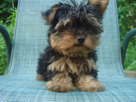 regular yorkie 1000 ideas about yorkie terrier mix on terrier mix yorkie and