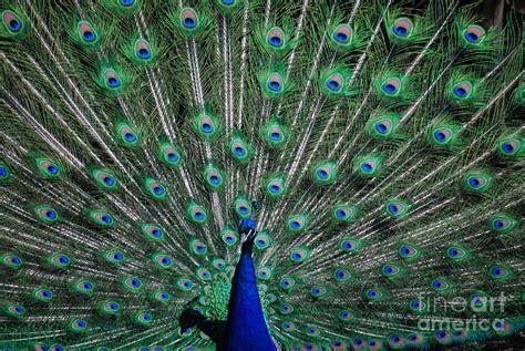 Pretty As A Peacock pretty as a peacock photograph by grace grogan