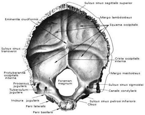 translucenza nucale interna o esterna occipitale appunti di anatomia