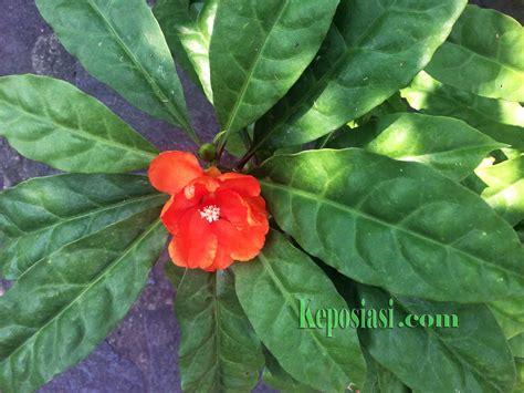 Jarum Pentul Daun wow ini 15 khasiat dan manfaat daun tujuh duri bagi kesehatan keposiasi