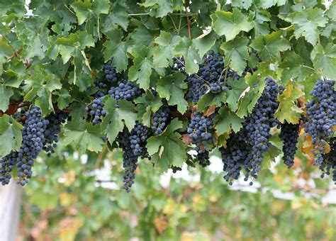 grapes on the vine on pinterest vines google and wine