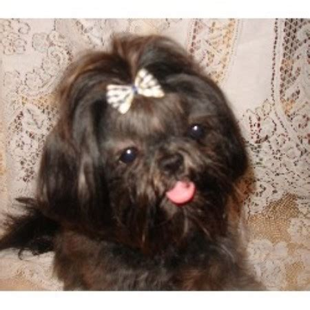 washington shih tzu breeders imperial shih tzu shih tzu breeder in ferndale washington listing id