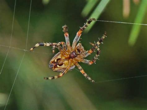 Garden Spider Spot Bugs