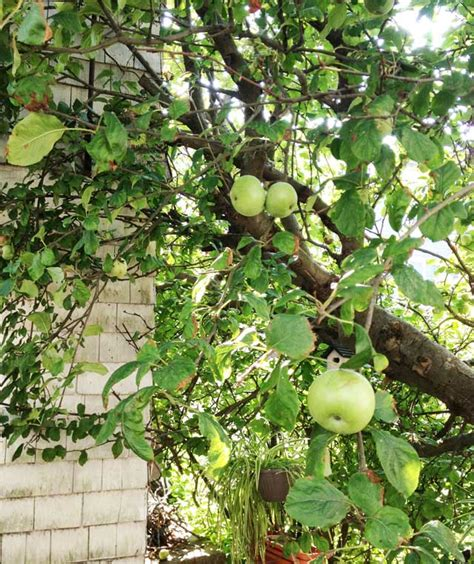 apple tree in my backyard apple tree in my backyard backyard orchard culture deep green gogo papa