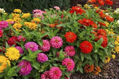 zinnia fiore how to harvest zinnia seed for next ehow