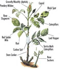 Types Of Plant Diseases - how to rose plant diseases and pests