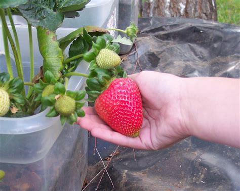 container gardening strawberries getting started in gardening containers american
